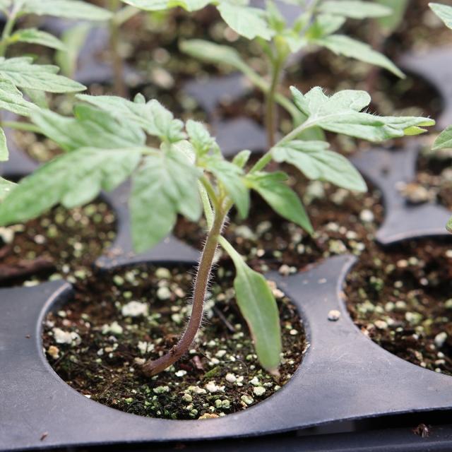Tomato transplant close-up